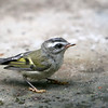 Golden-Crowned Kinglet<br /> 16 JUL 2007