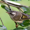 Golden-Crowned Kinglet<br /> 03 JUL 2011