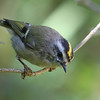 Golden-Crowned Kinglet<br /> 14 AUG 2006