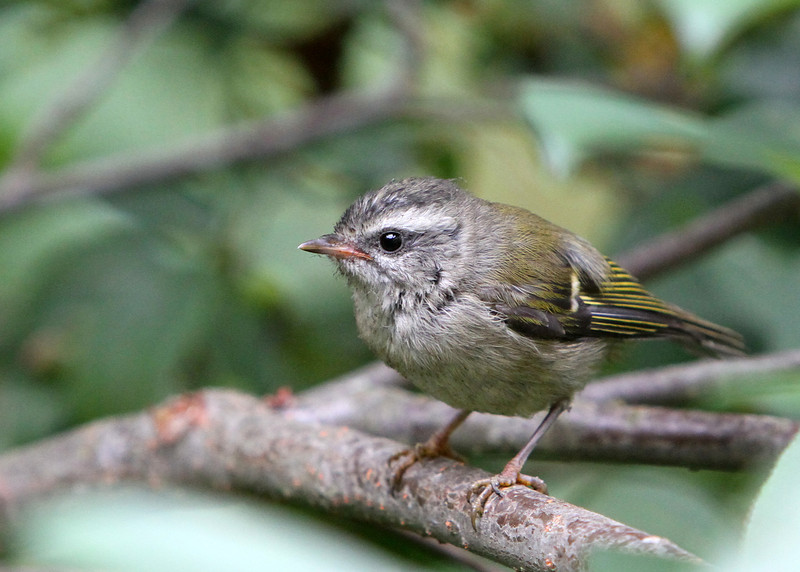 Golden-Crowned Kinglet<br /> 21 AUG 2012