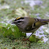 Golden-Crowned Kinglet<br /> 03 DEC 2009