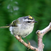 Golden-Crowned Kinglet<br /> 19 JUL 2012
