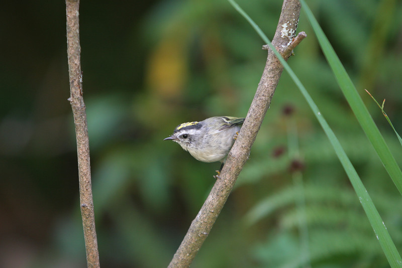 Golden-Crowned Kinglet<br /> 18 JUL 2009