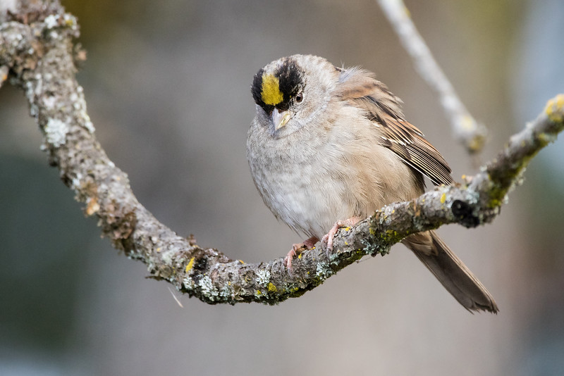 Golden Crowned Sparrow