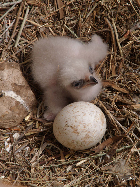 AC 07MY4488<br /> Baby Golden Eagle (Aquila chrysaetos).<br /> <br /> At hatching, a baby golden eagle weighs only about 3 ounces.