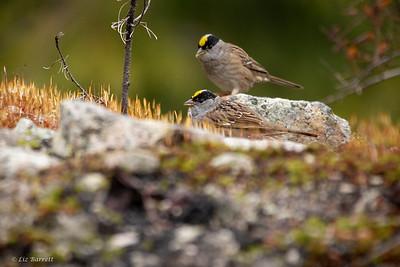 0U2A7006_Golden-crowned Sparrow