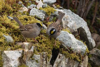 0U2A7055_Golden-crowned Sparrow