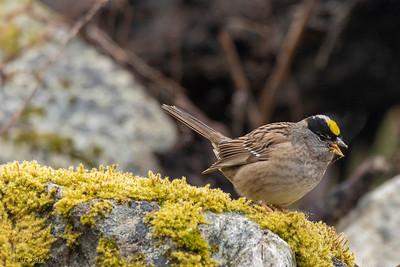 0U2A7046 Golden-crowned sparrow