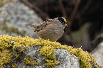 0U2A7042_Golden-crowned Sparrow
