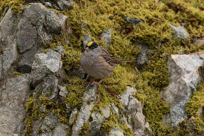 0U2A7058_Goldeb-crowned Sparrow
