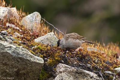 0U2A7037 Golden-crowned Sparrow