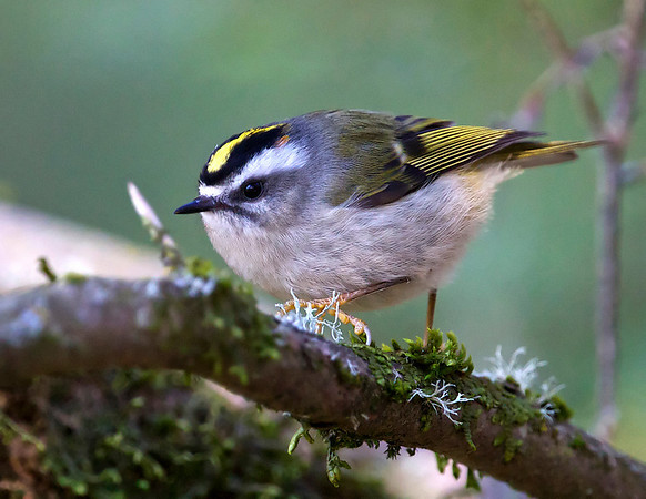 Golden-crowned Kinglets, Screech Owl and Wren