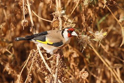 Goldfinch חוחית
