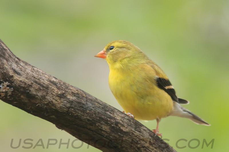Americasn Goldfinch (b0714)