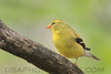 Americasn Goldfinch (b0714)