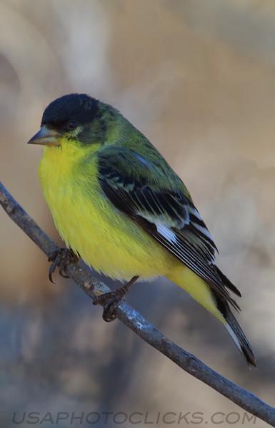 Leser Goldfinch (b0721)