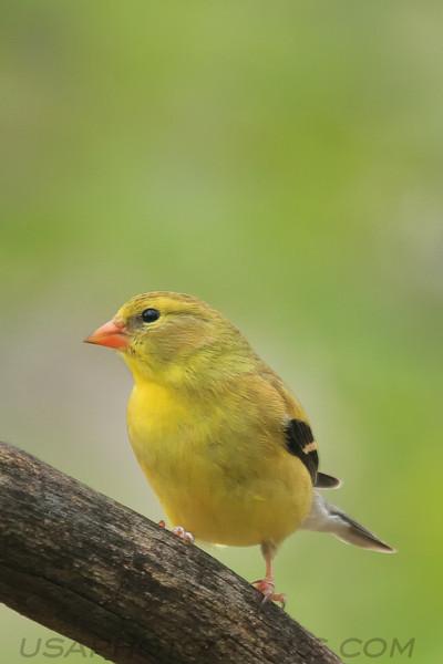 Americasn Goldfinch (b0712)