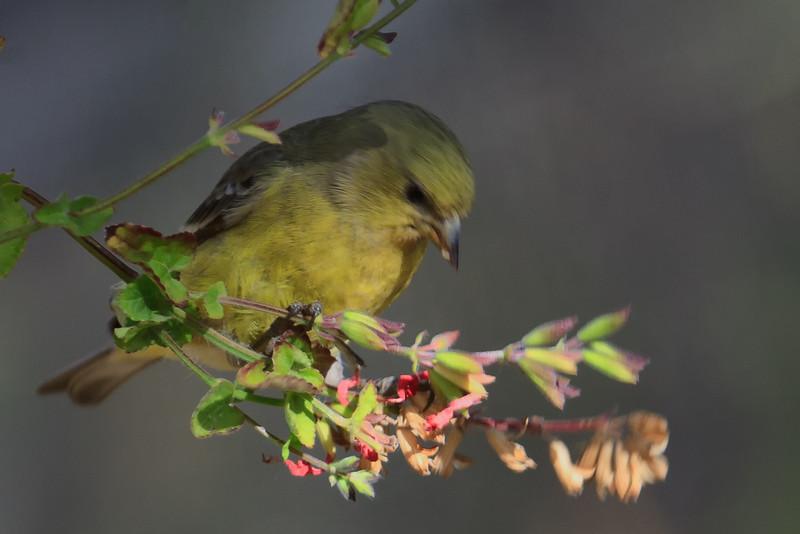 Leser Goldfinch (b0723)