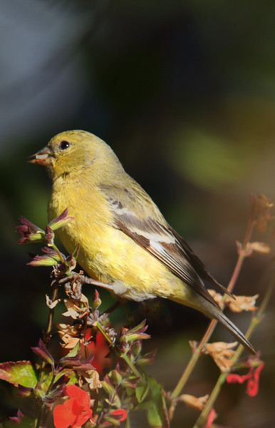 Leser Goldfinch (b0722)