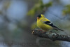 Americasn Goldfinch (b0713)