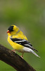 Americasn Goldfinch (b0711)