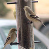 American Goldfinch <br /> Bridgeton, Mo <br /> 2005-02-06<br /> <br /> No. 19 on my Lifetime List of Birds <br /> Photographed in Missouri.