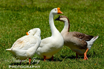 Chinese Goose with Swan Goose