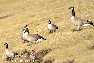 Cackling Goose with Canada