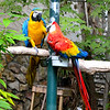 Two of a thousand parrots that sit on perches, most of them open and free, in a mountainside garden