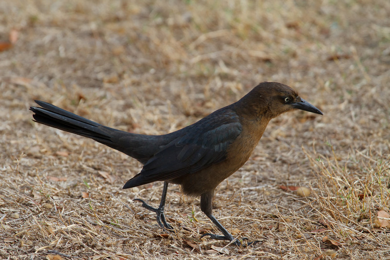 Great Tailed Grackle (b0772)
