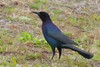 Boattail Grackle (b0751)