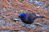Common Grackle (0762)