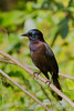 Common Grackle (0761)