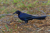Great Tailed Grackle (b0771)