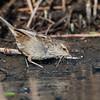 Little grassbird (Megalurus gramineus)