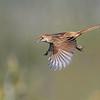 Tawny grassbird (Megalurus timoriensis)
