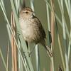 Little Grassbird ( Megalurus gramineus)