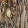 Australian reed warbler (Acrocephalus australis)