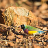 Gouldian Finch_David Stowe_6152