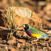 Gouldian Finch_David Stowe_6154