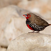 David Stowe-Painted Finch-4649
