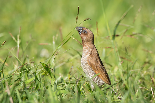 Scaly-breasted Munia©David Stowe-4456