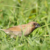 Scaly-breasted Munia ©David Stowe-4518