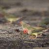 Star Finch-5929©David Stowe