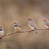 D Stowe_Zebra Finch branch_6201r-Edit