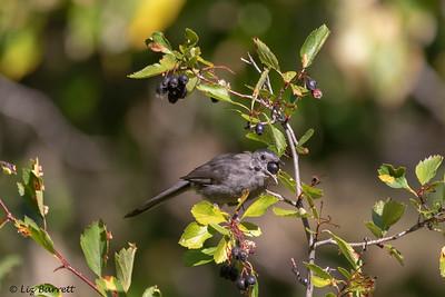 0U2A1336_Gray Catbird