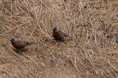 0U2A7129Gray-crowned Rosy Finch