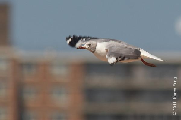 30 July: Gray-hooded Gull fly-by at Coney Island Beach, Brooklyn
