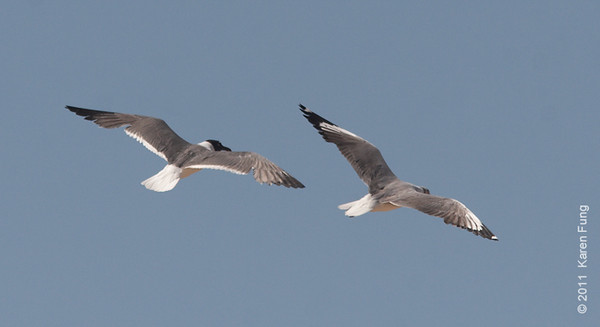 30 July: For topside field mark comparison, Gray-hooded Gull (right) and Laughing Gull at Coney Island Beach, Brooklyn