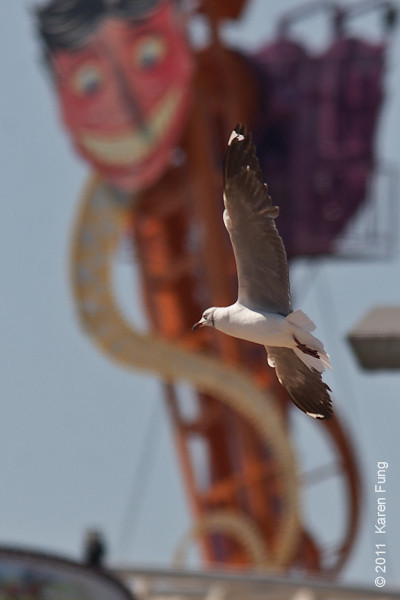 30 July:  Close-up of Gray-hooded Gull under the evil grin of the Steeplechase at Coney Island, Brooklyn